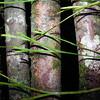 SAJ0143 Psilotum complanatum