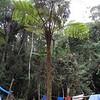 SAJ0603 Alsophila