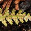 SAJ1220 Ctenopteris denticulata