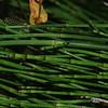2010-073 Equisetum ramosissimum