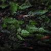 SAJ1320 Hymenophyllum cf. melanosorum