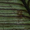 SAJ0208 Diplazium cordifolium