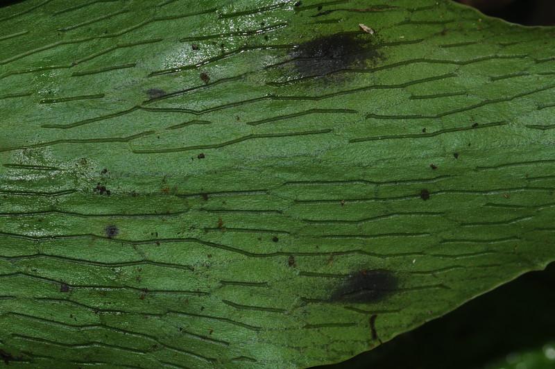 SAJ0019 Atrophyum alatum