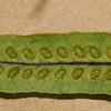 SAJ1253 Oreogrammitis scabristipes