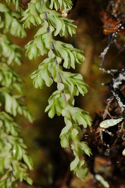 SAJ1257 Hymenophyllum ooides