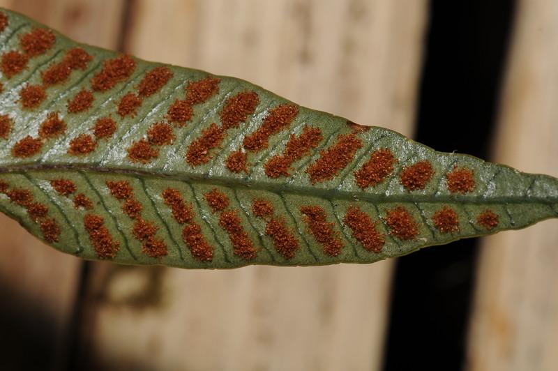 SAJ0590 Selliguea bellisquamata