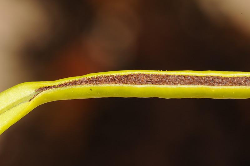 SAJ1246 Belvisia mucronata