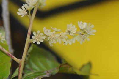 Flacourtiaceae
