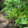 SAJ0908 Flagellaria indica