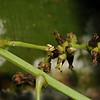 SAJ0764 Flagellaria indica