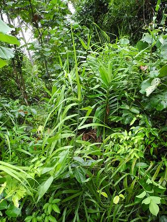Flagellariaceae