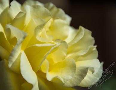 High Desert - rose
