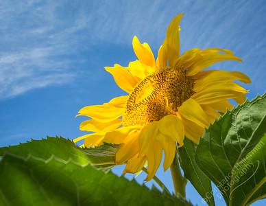 High Desert - sunflower