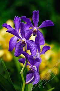 Singapore Botanic Gardens, Orchid Garden - purple orchids