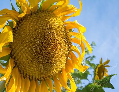 High Desert - sunflowers