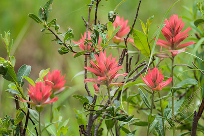 Bighorn Mountains - paintbrush