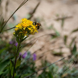 Cedar Breaks National Monument - Rocky Mountain Goldenrod