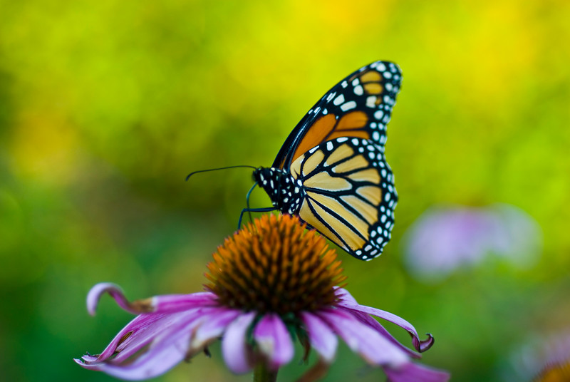 Monarch Butterfly on Pink Coneflower