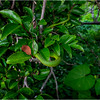 Florida Canaveral National Seashore 12 Rough Green Snake November 2017