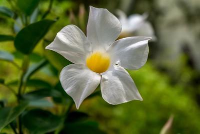 White Madevilla