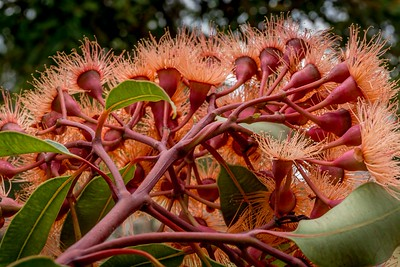 Corymbia ficifolia 'Wild Sunset'
