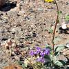 Desert Gold, Notch-Leaf Phacelia, Brown Eyed Primrose