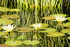 Water lilies and reflections