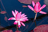 Magenta colored water lilies