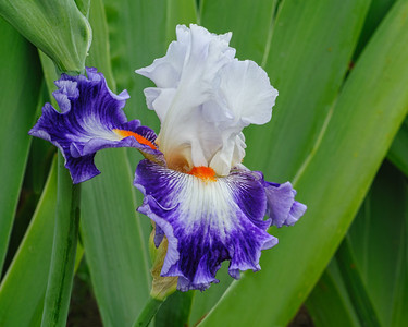 Cultivated Iris, Purple & White, Vacaville, CA