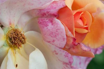 Rose Garden, Heather Farm, Walnut Creek, CA
