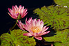 Water lilies in Chicago Botanic Garden