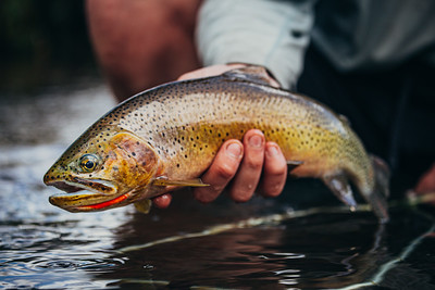 Fly fishing for sumemr cutthroat trout.