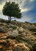 20140407_KW_Israel_Desert_Solo_Tree