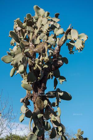 Tree Cactus