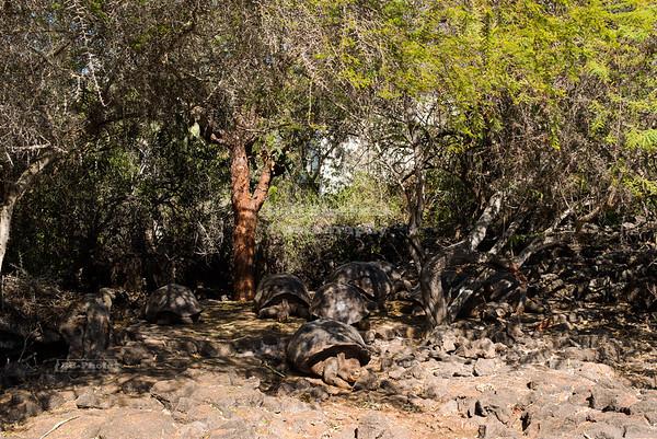 Long-necked Galápagos Tortoises