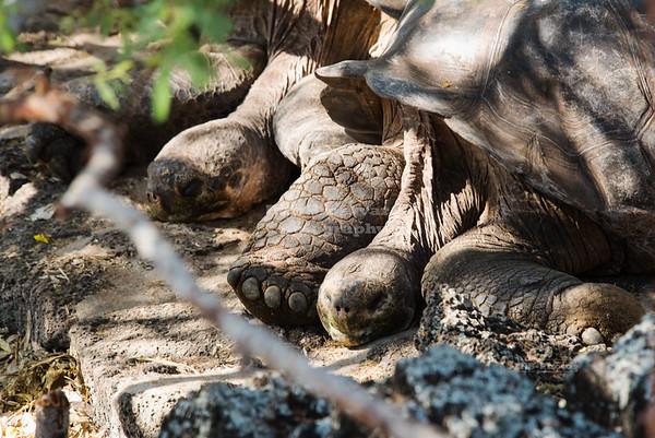 Giant Galápagos Tortoises