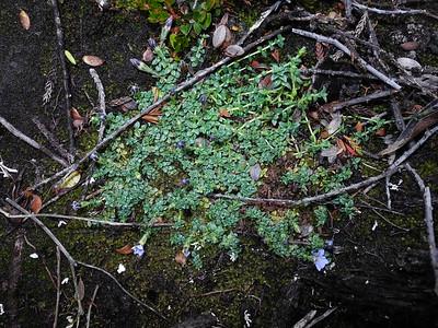Gentianaceae_Loganiaceae