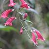 Conn5419 Aeschynanthus