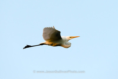 Egret in Flight at Sunset