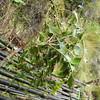 SAJ0634 Phyllocladus hypophyllus