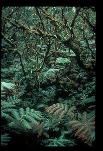 Forest in Kamakou Preseve (Molokai)