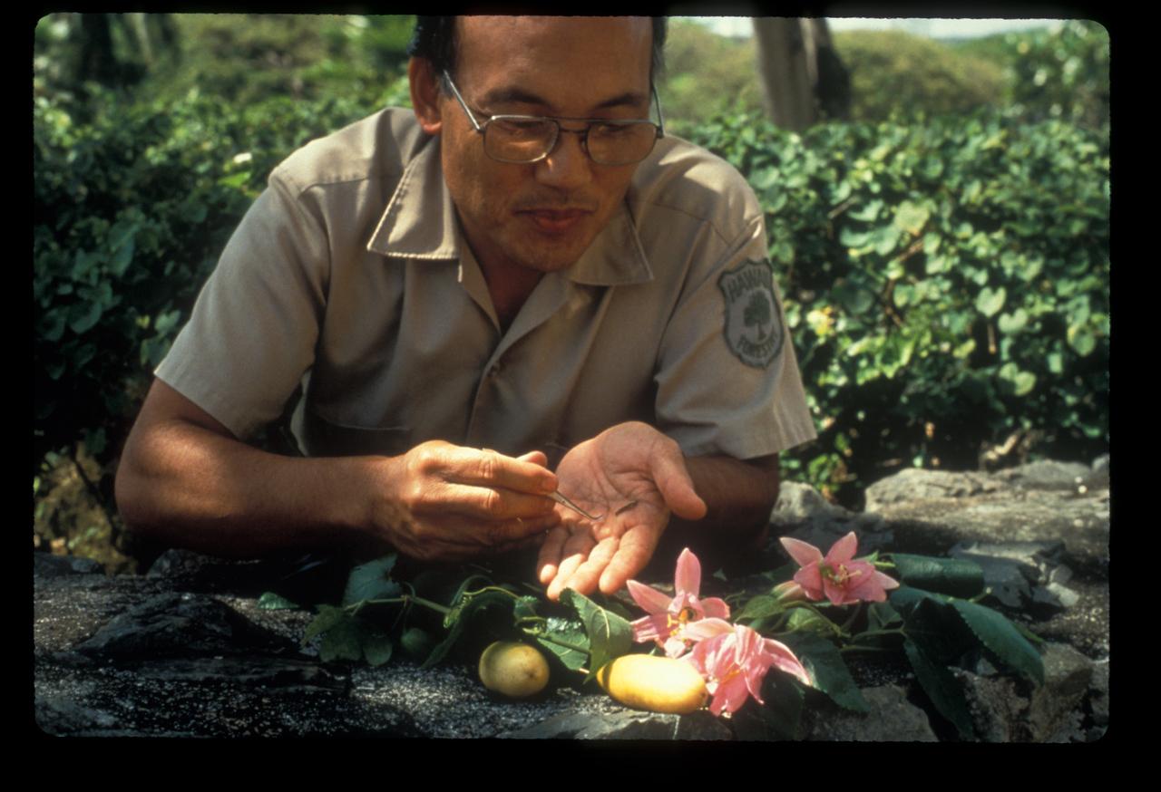 Victor Tanino, entomologist, banana poka biocontrol correspondent