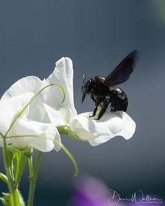 Die gefährdete Holzbiene