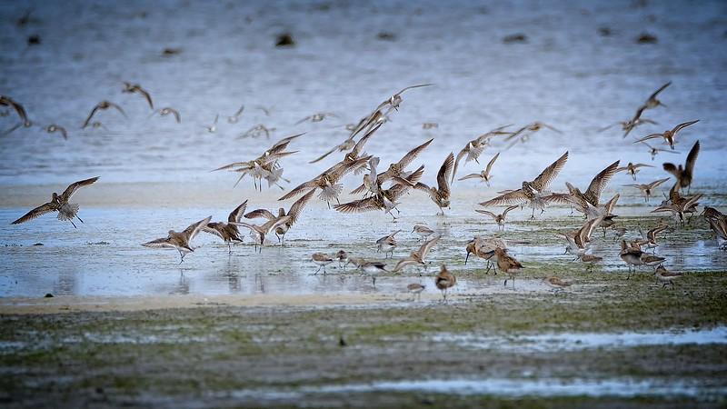 Shorebirds near Westport, WA