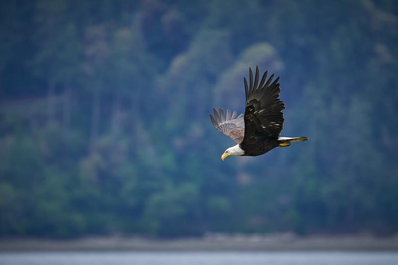 Bald Eagle on the Hunt
