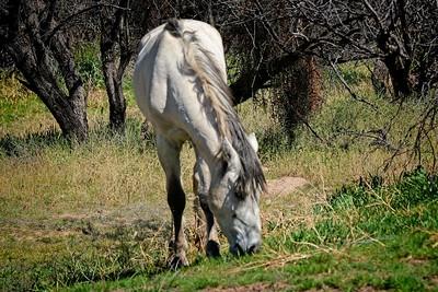 Wild Horses of Salt River
