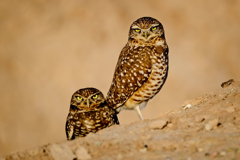 Borrowing Owl Pair