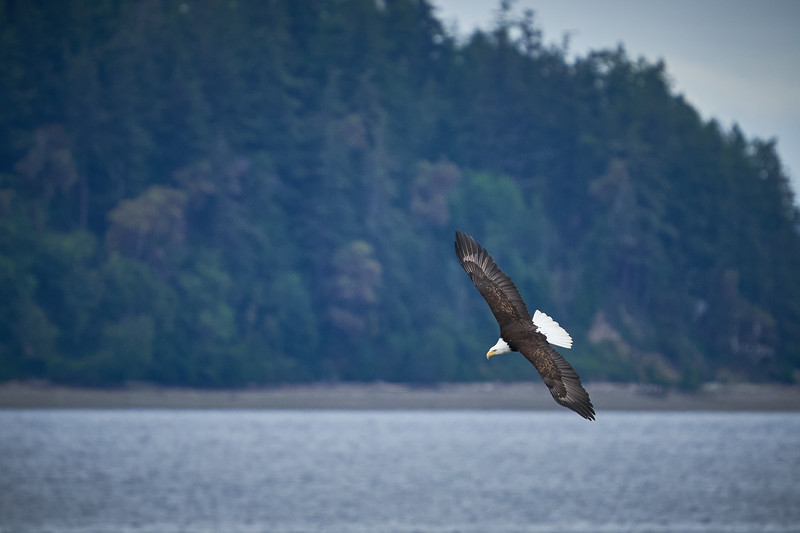 Bald Eagle Looking for Fish