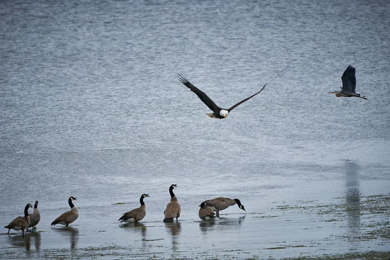 Eagle, Canada Geese, and a Blue Heron