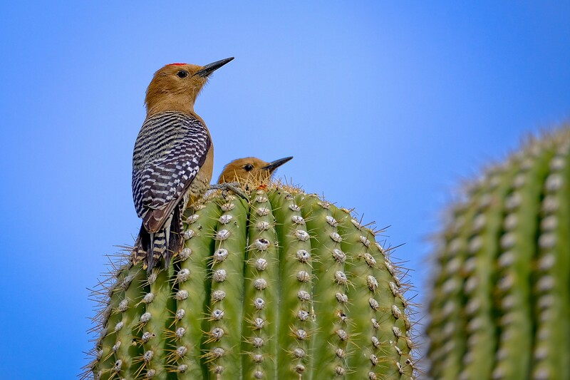 Gila Woodpecker Pair